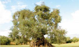 Kadim Ağaçlarımız